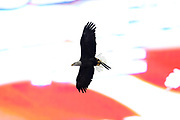 The Bald Eagle Challenger flies in front of the scoreboard as part of the pregame ceremonies during the playing of the National Anthem before the Denver Broncos during the 2017 NFL week 1 regular season football game against the Los Angeles Chargers, Monday, Sept. 11, 2017 in Denver. The Broncos won the game 24-21. (©Paul Anthony Spinelli)