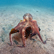 This sequence depicts a veined octopus (Amphioctopus marginatus) using a broken bottle as a portable shelter. The octopus was carrying a small crab that it had caught for a meal. Image 12 in a series of 15.