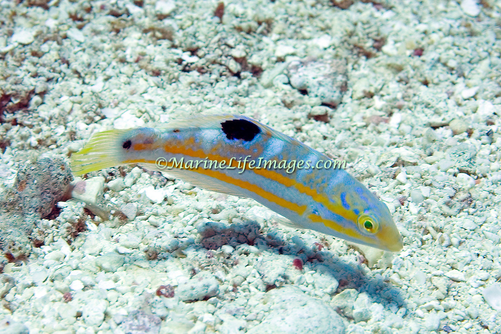 Puddingwife swim in open water just above and around reefs in Tropical West Atlantic; picture taken Roatan, Honduras.