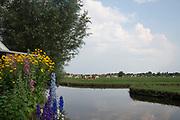 Field with grazing cows in Kinderdjik, Netherlands
