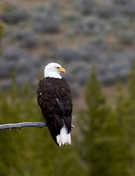 Perched, Bald Eagle, Dubois, Wyoming