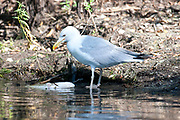 Yellow Legged Gull, Larus michahellis, Danube Delta, Romania, feeding on fish at edge of river