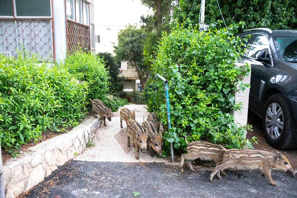 Wild boar piglets come out of a bush in front of a residential building in Haifa, Israel, April 09, 2021. Several neighborhoods in the northern Israeli city are being visited by families of wild boars. Many of the animals felt safer to come out of the Carmel woods surrounding the city in search for food, as most people were confined to their homes due to covid-19 lockdowns. As Israel slowly returned to normal life, following a large scale vaccination operation, human and animal encounters became more and more common.