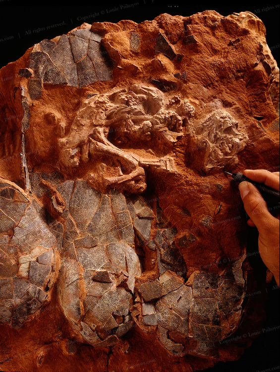 """Macroelongatoolithus xixiaensis is the largest known dinosaur egg.  Found in the Xixia Basin in China and dubbed """"Baby Louie"""" by paleontologist Charlie Magovern to honor Louie Psihoyos author of Hunting Dinosaurs"""