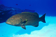 yellowfin grouper, yellow-finned grouper, rockfish, or<br /> rock grouper, Mycteroperca venenosa, dark phase<br /> Cayman Brac, Cayman Islands ( Caribbean Sea ) <br /> by wreck of the Capt. Keith Tibbets ( Russian destroyer )