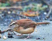 Carolina Wren (Thryothorus ludovicianus). Image taken with a Nikon D5 camera and 600 mm f/4 VR telephoto lens.