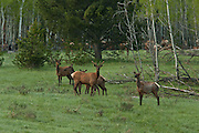 A lone young bull elk among a herd of cow elk, Grand Teton National Park