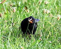 Red-winged Blackbird. Sourland Mountain Preserve. Image taken with a Nikon D4 camera and 80-400 mm VR lens.