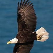 Bald Eagle in Alaska.
