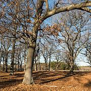 Oak and Maple grove at Appleton Farms & Grass Rides, Hamilton, MA