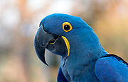 Hyacinth macaw (Anodorhynchus hyacinthinus). Pantanal, Brazil.