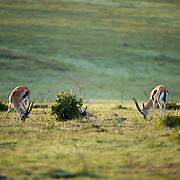 Thomson Gazelle (Gazella thomsonii)  Masai Mara Game Reserve. Kenya Africa