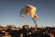 06/11/2014 - Uyuni, Bolivia: Plastic tree #2. Plastic bags are part of the landscape of the Bolivian Altiplano. The accumulation of plastic bags on the environment cause deterioration of the landscapes and agriculture soils and it is associated to the death of domestic and wild animals.