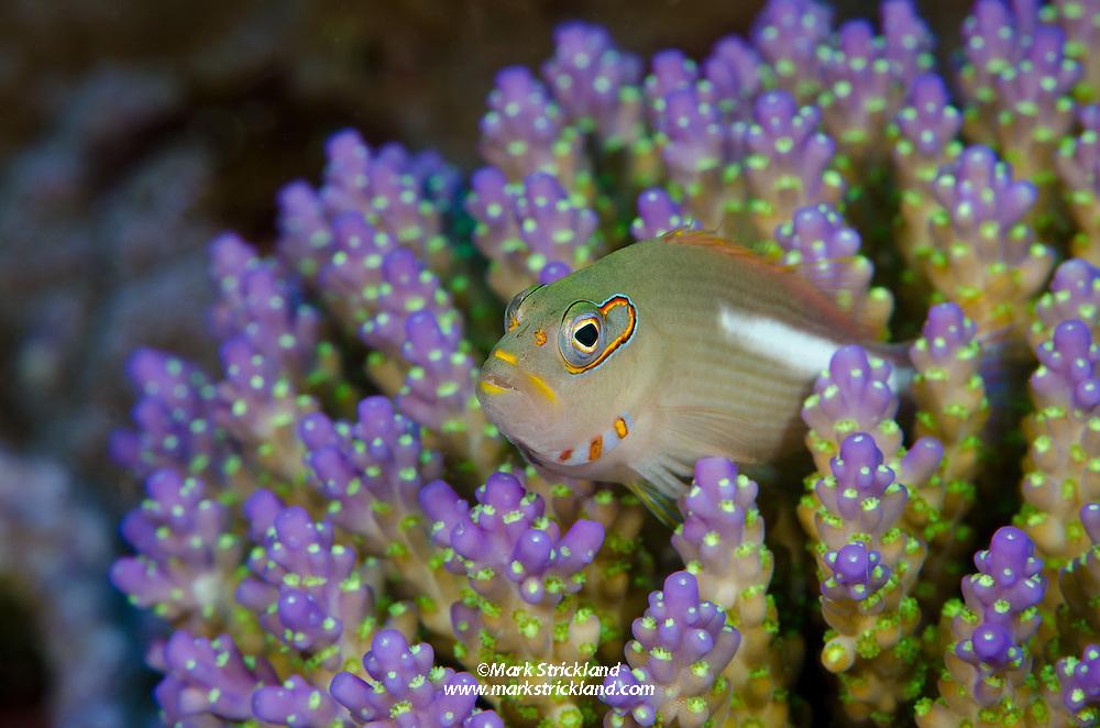 Arc-eye Hawkfish, Paracirrhites arcatus, perched among brancing coral. Far North Great Barrier Reef, Australia, Pacific Ocean