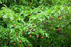 The fruits of Cornus 'Norman Hadden' AGM (Dogwood) in autumn