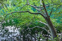 A tree hanging over Mountain Lake, Moran State Park, Orcas Island, Washington.