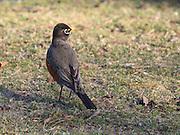American Robin (Turdus migratorius, also called North American Robin)