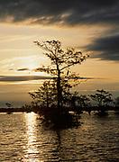 Sun silhouetting Bald Cypress, Taxodium distichum, Atchafalaya Basin, Louisiana.