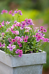 Scented window box with Nemesia Framboise = 'Fleurfram' and Dianthus 'Pink Kisses'