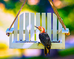 A Red-Bellied Woodpecker Pays a Visit To My White Swing Feeder For a Lunch Reservation