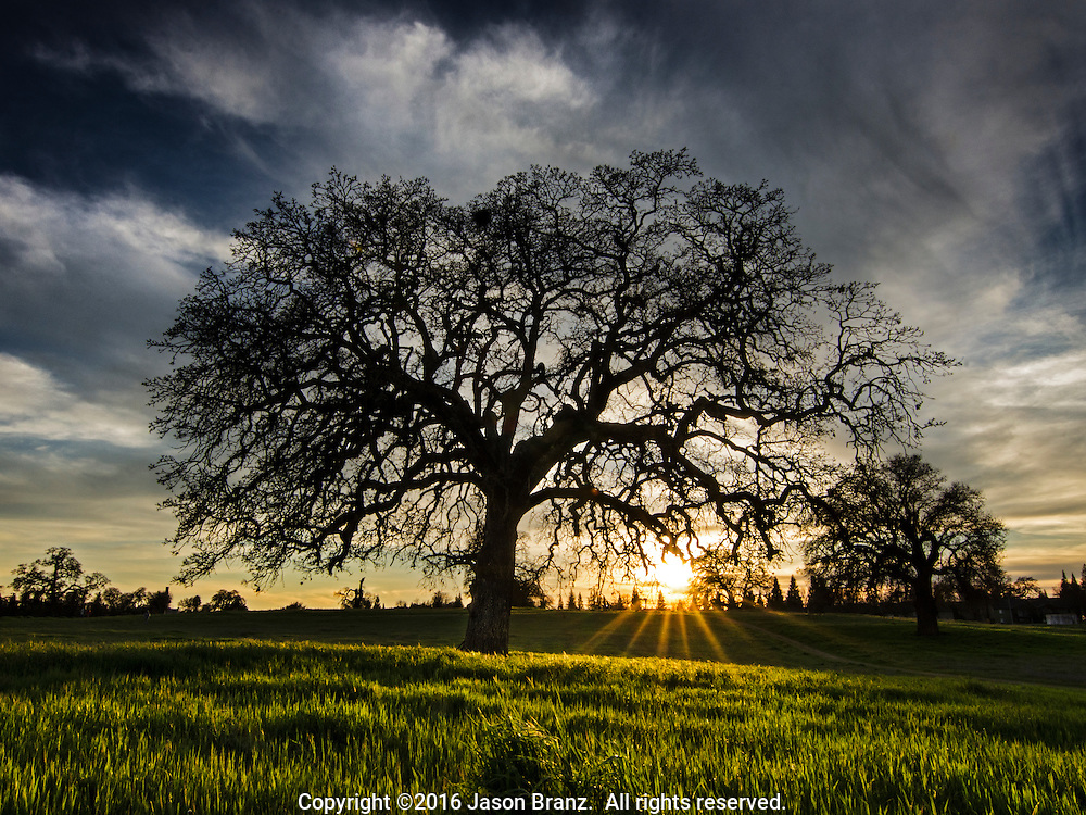 Sunset through a large oak tree, Sacramento County, California.