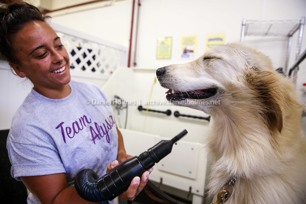 (8/9/15, MEDWAY, MA) Ericha Flateau, of Franklin, dries Paris, a 2-year-old Golden Retriever service dog, after a bath at The Medway Dog Wash on Sunday. Paris is a service dog for Ericha Flateau's son Austin who has a seizure disorder. Paris has her own Facebook page at http://www.facebook.com/4PawsforAustin/. Daily News and Wicked Local Photo/Dan Holmes