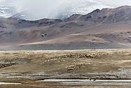Rudy Shelduck's and Black-necked Cranes near Tso Kar lake on Ladakh's Changtang plateau