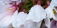 Cherry blossoms with dew drops covering them in the early morning light during Spring in Utah.