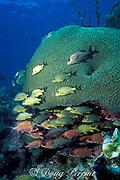bluestripe grunts, Haemulon sciurus, and squirrelfish, Holocentrus adscensionis, sheltering under giant brain coral, Colpophyllia natans, Key Largo, Florida, ( Western Atlantic Ocean ) Florida Keys National Marine Sanctuary