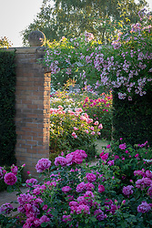 Rosa 'Kew Rambler' growing over the archway into the Victorian Garden with Rosa 'Princess Anne' syn. 'Auskitchen' in the foreground