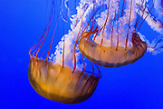 """Pacific sea nettle, or Ortiga de mar (Chrysaora fuscescens), Monterey Bay Aquarium, California, USA. Although commonly named """"jellyfish,"""" jellies are plankton, not fish. Jellies (class Scyphozoa) lack the backbone (vertebral column) found in fish. Jellyfish have roamed the seas for at least 500 million years, making them the oldest multi-organ animal. A sea nettle hunts by trailing long tentacles covered with stinging cells to paralyze tiny plankton and other prey. Stung prey is moved to the frilly mouth-arms and on to the jelly's mouth. The Monterey Bay Aquarium (MBA) was founded in 1984 on the site of a former sardine cannery on Cannery Row along the Pacific Ocean shoreline. Fresh ocean water is circulated continuously from Monterey Bay, filtered for visibility during the day and unfiltered at night to bring in food. Monterey was the capital of Alta California from 1777 to 1846 under both Spain and Mexico. In 1846 the US flag was raised over the Customs House, and California was claimed for the United States."""