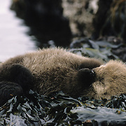 A very young sea otter sleeps on rocks covered with seaweed in southwest Alaska.