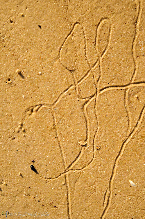 Snail tracks in the wet sand of low tide sketch a mouse at Rabbit Key, Everglades, Florida