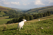 Littondale is a Yorkshire Dale in the Craven district of North Yorkshire, England, UK. Known for it's smooth rolling hills and traditional farmhouses that date from the 17th century. This is sheep farming country and prime grazing ground for the multitude of livestock on the grassland.