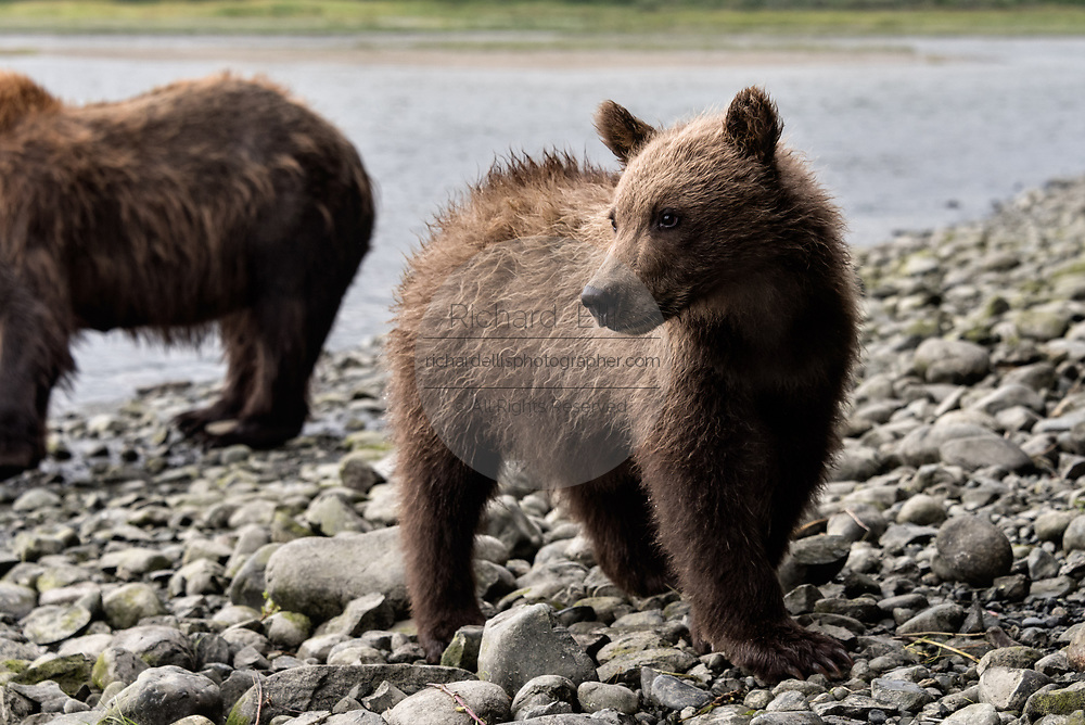A curious brown bear cub at the McNeil River State Game Sanctuary on the Kenai Peninsula, Alaska. The remote site is accessed only with a special permit and is the world's largest seasonal population of brown bears in their natural environment.