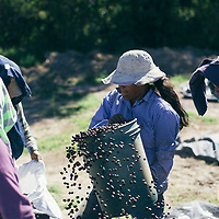 A team of workers at an organic Fairtrade coffee farm in the COMSa coop, Marcala, Honduras