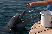 Israel, Eilat, Dolphin Reef Beach, Common Bottlenose Dolphin (Tursiops truncatus). Trainer feeding the dolphins