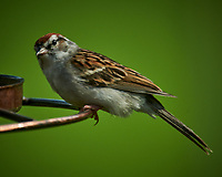 Chipping Sparrow.Image taken with a Nikon D850 camera and 600 mm f/4 VR lens and 2.0x TCE-III teleconverter.