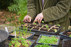 Pricking out seedlings of Geranium wallichianum 'Buxton's Blue'. Transferring seedlings into tray separated into sections with cardboard