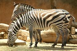 Plains Zebra, Los Angeles Zoo