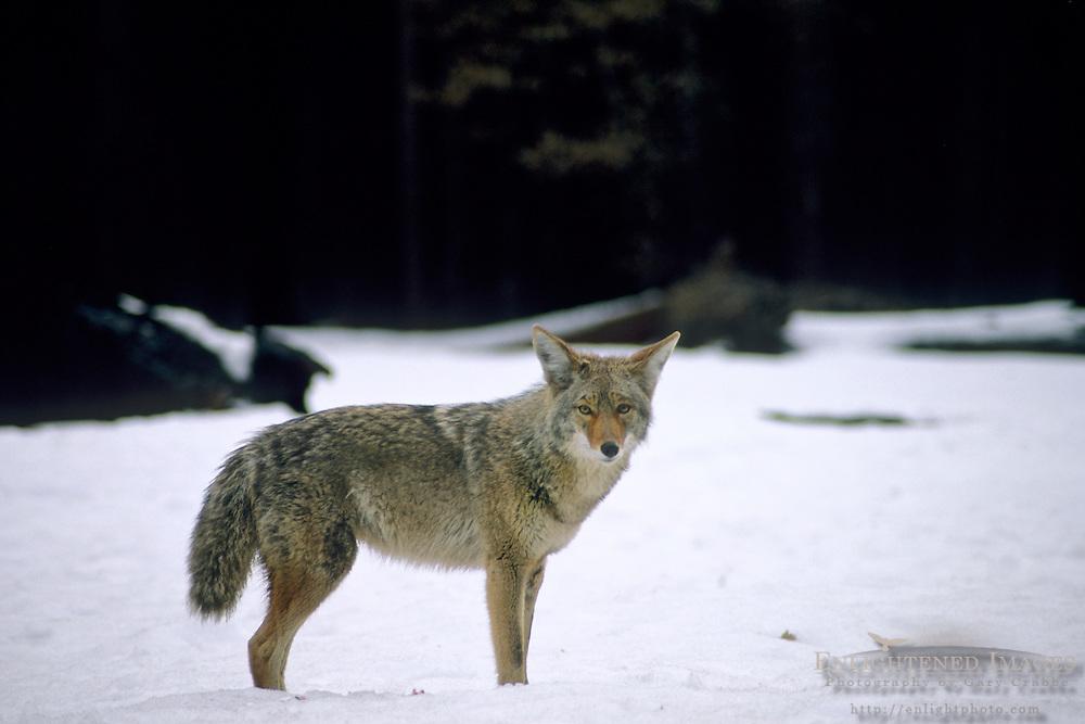 Coyote in winter, Yosemite Valley, Yosemite National Park, California