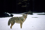 Coyote in winter, Yosemite Valley, Yosemite National Park, California