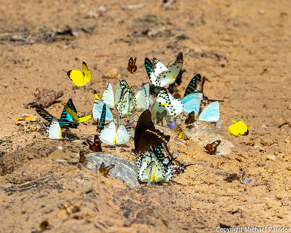 A myriad of butterflies gathers on a dirt track in the Central African Republic.  50% of the proceeds from the sale of this photo will go to the