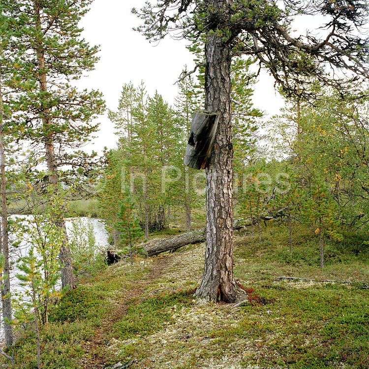 A nesting box for the Common Goldeneye, a medium-sized diving duck, Finnish Lapland. Like other waterfowl, the goldeneye has had an important role in providing nutrition for people of northern Finland. The birds naturally nest in a tree cavity but will readily use nestboxes and this used to be the traditional way of collecting eggs of waterfowl throughout Lapland. The custom was based on the fact that when you remove only some of the eggs from the nest, the female would lay more eggs to replace the lost ones. The eggs were traditionally cooked in hot ash and eaten hardboiled. Collecting Common Goldeneye eggs is no longer officially permitted.