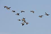 Large flock of American Wigeon Ducks in flight.(Anas americana).Back Bay Reserve, California