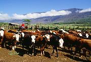 Cattle, Kaupo, Maui, Hawaii