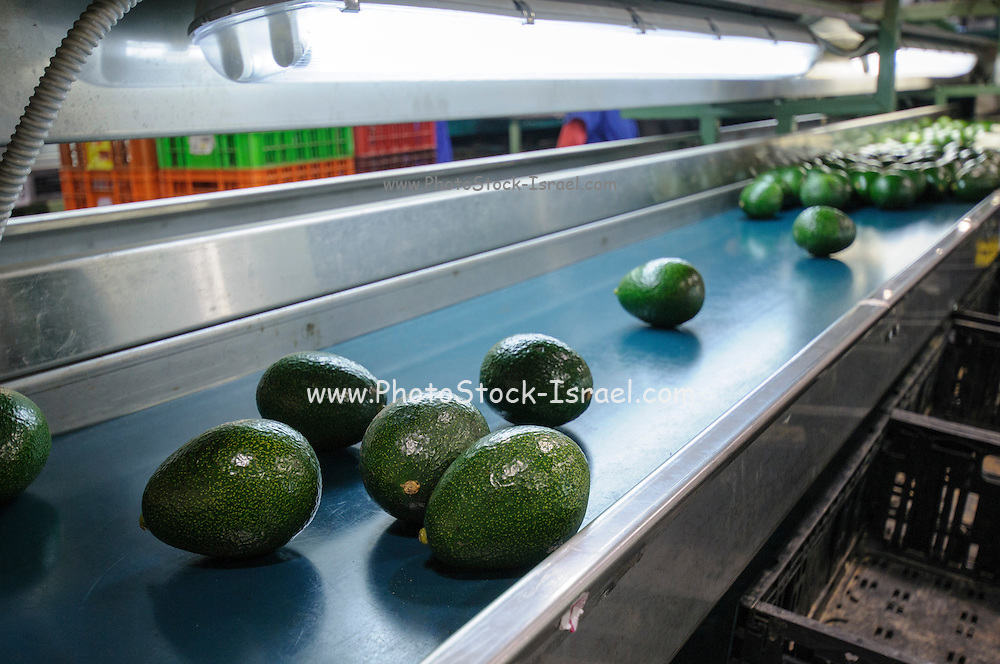 Computerized Avocado sorting and packing plant. Photographed in Israel