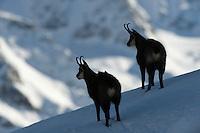 19.11.2008.Chamois (Rupicapra rupicapra) in alpine landscape..Gran Paradiso National Park, Italy