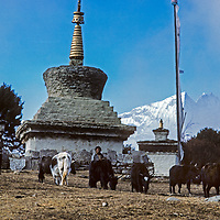 Yak-Cattle crossbreeds called Dzos graze in front of prayer flags and a sacred chorten monument at Tengboche Monastery in Nepal's Himalaya. Fog wreathes Mount Thamserku in the background.