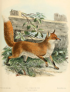 "Red fox or Common Fox (Vulpes vulpes [Here as Canis vulpes]) From the Book Dogs, Jackals, Wolves and Foxes A Monograph of The Canidae [from Latin, canis, ""dog"") is a biological family of dog-like carnivorans. A member of this family is called a canid] By George Mivart, F.R.S. with woodcuts and 45 coloured plates drawn from nature by J. G. Keulemans and Hand-Coloured. Published by R. H. Porter, London, 1890"